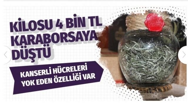 Türk beyaz çayında kanserli hücreleri yok eden etken bir maddeye rastlandı.