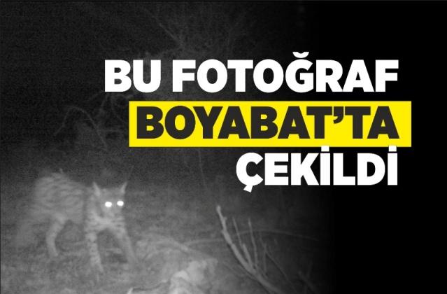 Boyabat'ta yaban hayatı fotokapanla görüntülendi   Boyabat'ta yaban hayatı, çeşitli bölgelere kurulan fotokapanlarla görüntülendi.