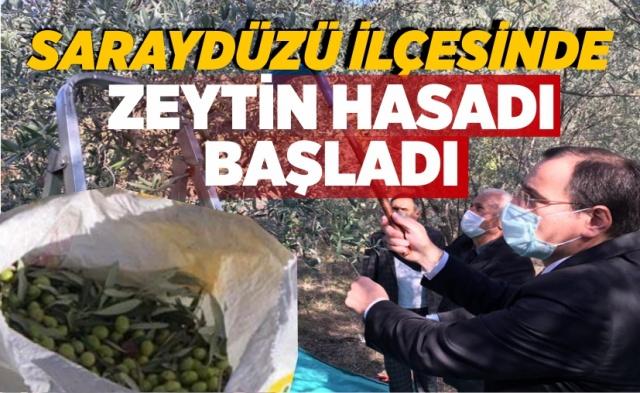 Sinop'un Saraydüzü ilçesinde mikro klima ikim özeliklerine sahip Boyabat Barajı göleti kıyısında bulunan Yalmansaray Köyü'nde zeytin hasadı yapıldı.