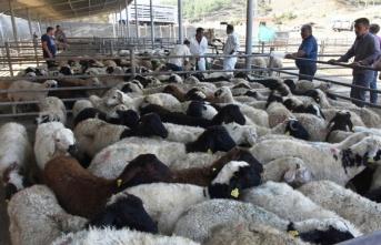 Boyabat'ta Genç Çiftçilere 280 Adet Hibe Koyun Dağıtıldı.