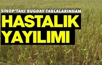 Sinop'taki buğday tarlalarından hastalık yayılımı