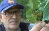 'Katil gal arısı' tehdidi büyüyor: Bartın ve Kastamonu'dan sonra Sinop'ta da görüldü