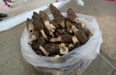 Kuzugöbeği, kilosu 100 TL'den alıcı buluyor