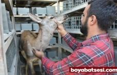 Avcılardan kaçan yaralı karaca Boyabat'ta fabrikaya sığındı