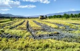 Boyabat'ta çeltik hasadı başladı