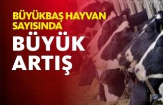 Sinop'ta Büyükbaş Hayvan Sayısı 108 bin 523...