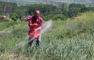 """""""Mayıs ve haziranda satılan sarımsaklar Taşköprü..."""
