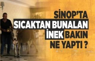 Sinop'ta Sıcaktan Bunalan İnek Bakın Ne Yaptı...