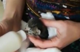Sinop'ta minik kediye süt annesi aranıyor !