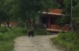 Köye kadar inen yavru ayı kamerayla görüntülendi...