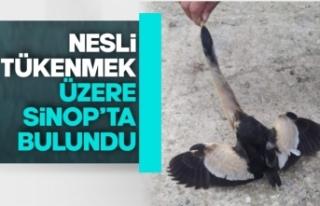 Nesli tükenmekte olan kuş Sinop'ta bulundu