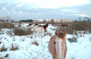 Sinop'ta yılkı atları böyle görüntülendi