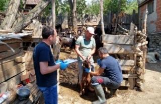 Boyabat'ta hayvan hastalıkları ile mücadele...