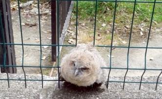 Yaralı baykuş tedavi altına alındı