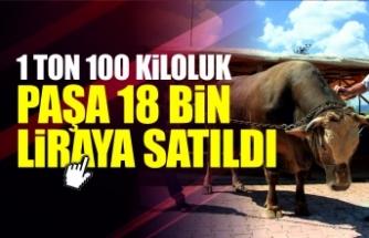 """1 ton 100 kiloluk """"Paşa"""" 18 bin liraya satıldı"""