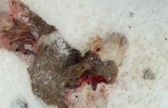 Boyabat'ta aç kalan kurtlar buzağıyı parçaladı