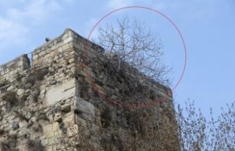 Güllelerin delemediği tarihi kale surlarını incir çekirdeği deldi