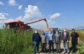 Boyabat'ta 2021 yılı çeltik hasadı başladı