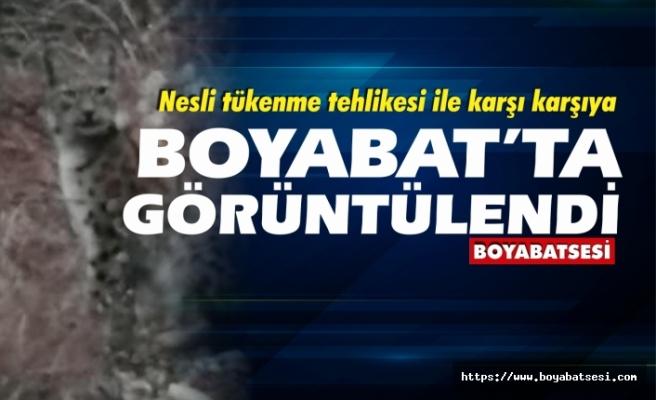 Anadolu Vaşağı Boyabat'ta görüntülendi