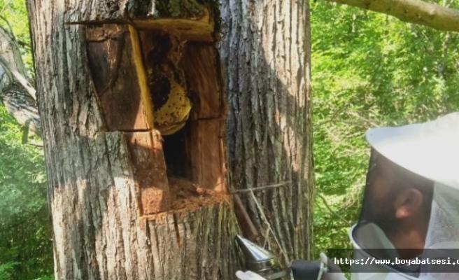 Kesilen ağaçtan 10 kilo bal çıktı