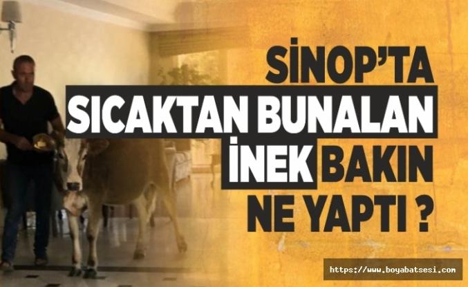 Sinop'ta Sıcaktan Bunalan İnek Bakın Ne Yaptı ?