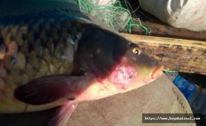 Boyabat Barajında toplu balık ölümleri, korku yarattı.