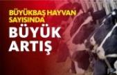 Sinop'ta Büyükbaş Hayvan Sayısı 108 bin 523 oldu