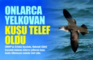 Sinop'ta Onlarca Yelkovan Kuşu Telef Oldu