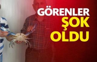 Mavi Yengeç Sinop'ta Ağlara Takıldı
