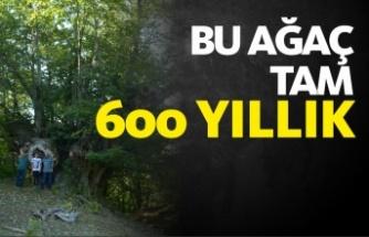 600 yıllık anıt ağaç köylünün geçim kaynağı