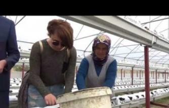 Boyabat'ta Darıözü Köyü Çilek Üretimi-1