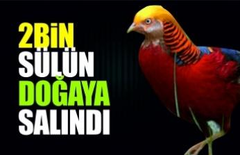 Sinop'ta 2 bin sülün doğayla buluştu