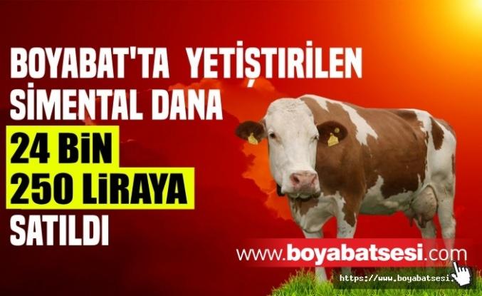 Boyabat'ta Yetiştirilen Simental Dana İstanbul'da 24.250 Liraya Satıldı